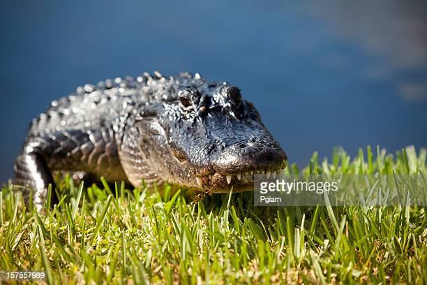 Alligator dans le marais