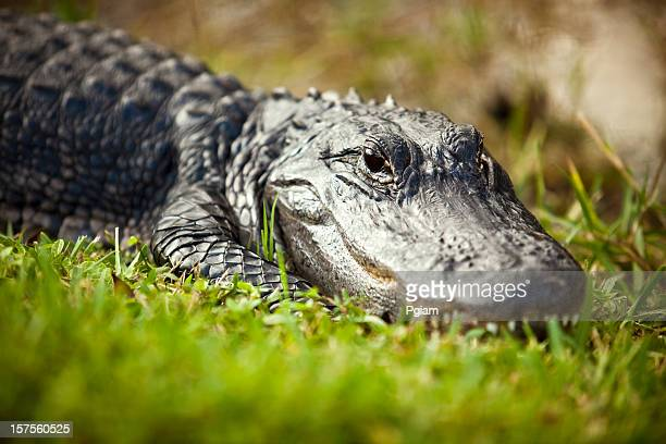 Alligator in the swamp