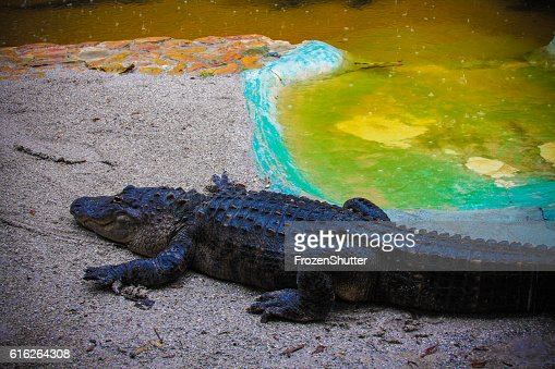 Alligator near a swamp : Stock Photo