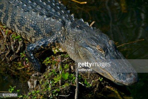 Alligator : Stock Photo