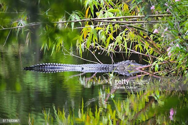 Alligator resting in the water