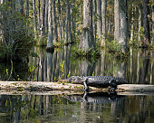 American alligator resting on log in swamp