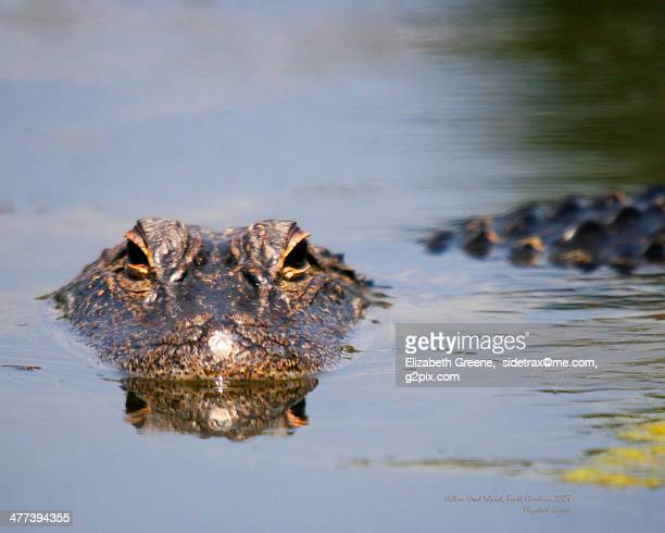 the background information in alligator mississippiensis in the family of crocodylidae A juvenile american alligator (alligator mississippiensis) crocodilian in the genus alligator of the family #alligator #predator #crocodylidae.