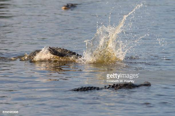 Alligator Twisting in the Water