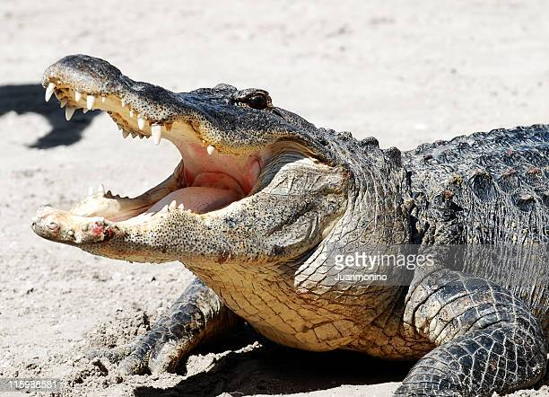 Alligator with mouth open 03