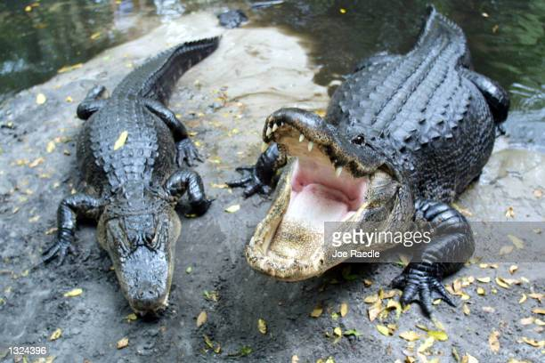 Alligators rest on a rock in a small pond June 21 2001 at the Seminole Okalee Indian Village in Hollywood Florida A small alligator has been spotted...