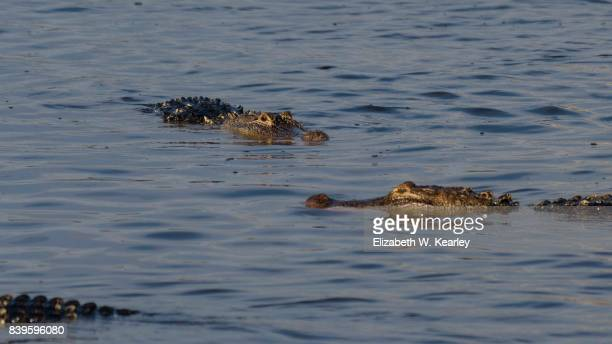 Alligators Swimming