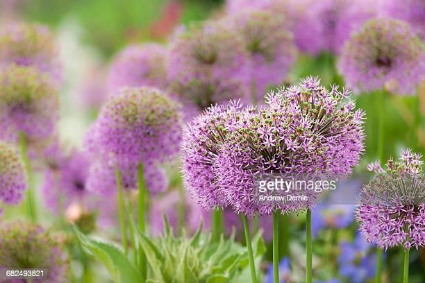 Allium Blooming