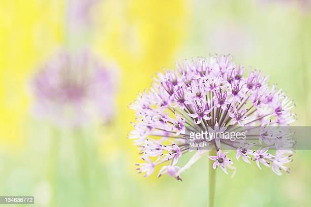 Allium flower on pastel background