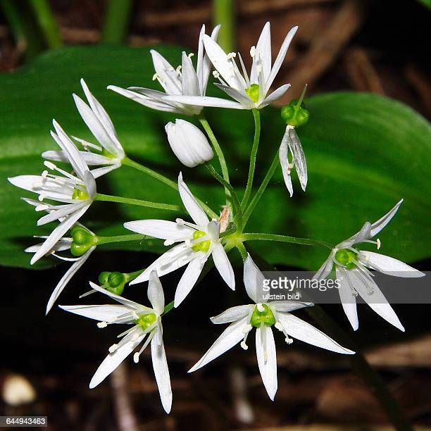 Allium ursinum Bluehender Baerlauch Nahaufnahme