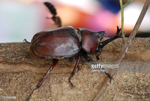 Allomyrina dichotoma (Rhinoceros Beetle)