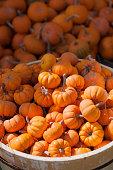 Allotment of mini pumpkins