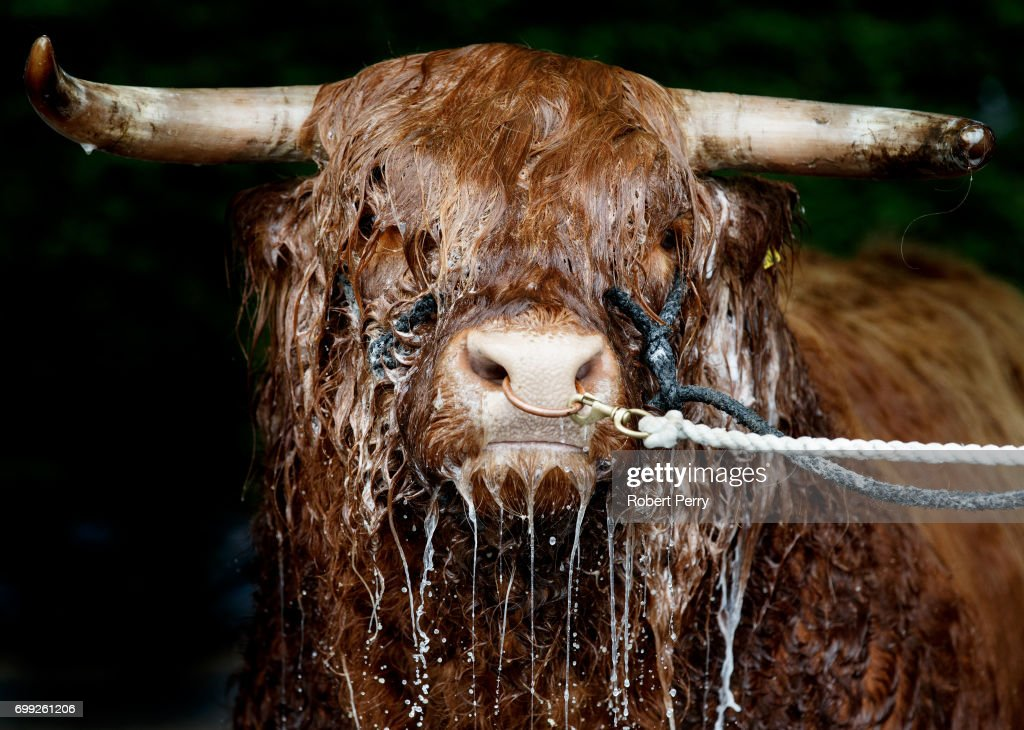 Allt Ruadh of Crannich the Highland bull from Peebles gets a wash from owner David Cuthbertson before the 177th Royal Highland Show on June 21, 2017 in Edinburgh, Scotland. The Royal Highland Show is Scotland's annual farming and countryside showcase, organised by the Royal Highland and Agricultural Society of Scotland.