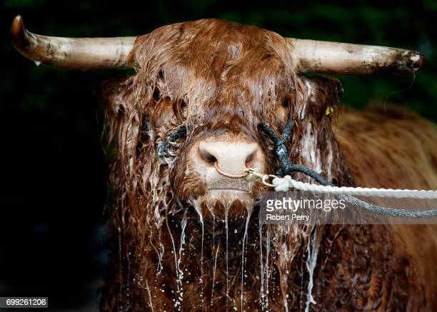 Allt Ruadh of Crannich the Highland bull from Peebles gets a wash from owner David Cuthbertson before the 177th Royal Highland Show on June 21 2017...