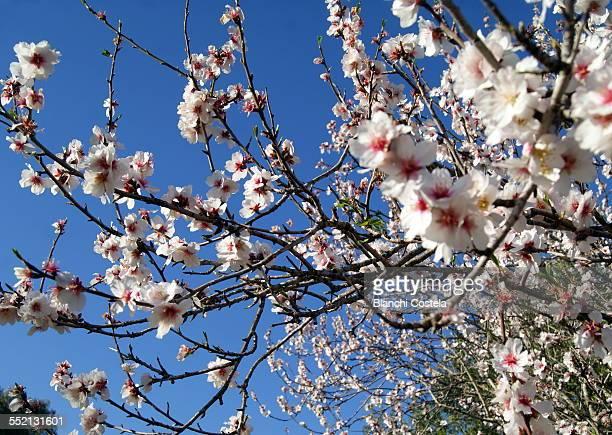 Almond blossom against blue sky