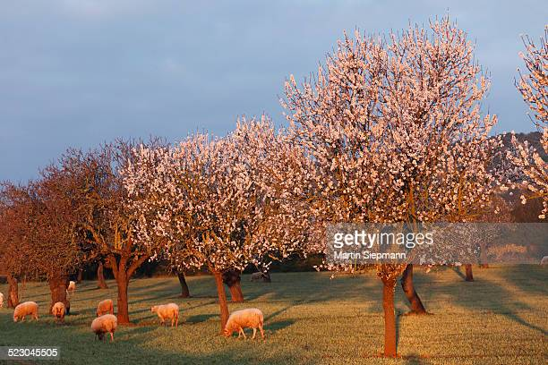 Almond blossom, blooming almond trees -Prunus dulcis- and sheep, morning light, Sant Jordi, Majorca, Mallorca, Balearic Islands, Spain, Europe