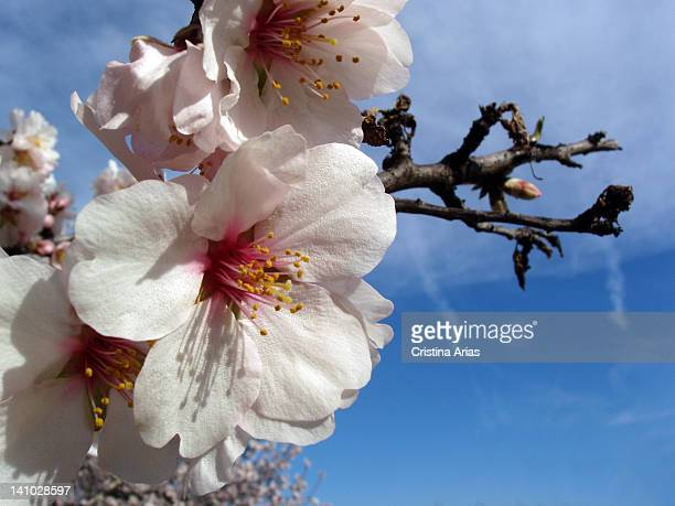 Almond blossom in the Quinta de Los Molinos Park in Madrid a historic garden planted with Mediterranean species among which the most notable are the...