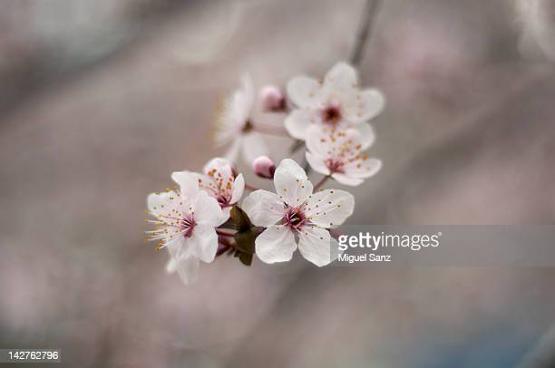 Almond flower blossom, Madrid