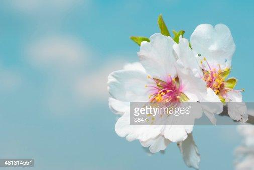 Almond flowers : Stock Photo