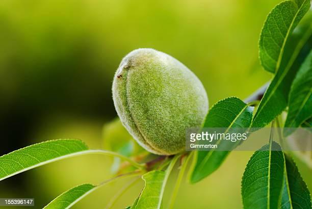 Almond en árbol