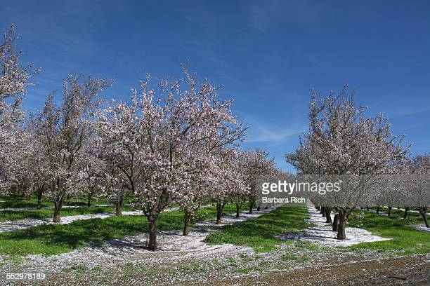 Almond orchard finishing bloom with petal drop