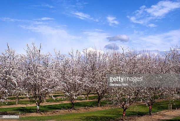 Almond orchard in bloom under blue clouded sky