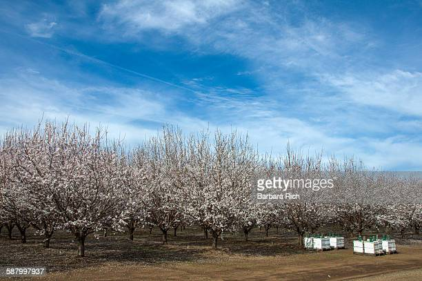 Almond orchard in bloom under clouded blue sky