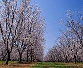 Almond Orchard in blossom, LeGrand,  Merced County, California