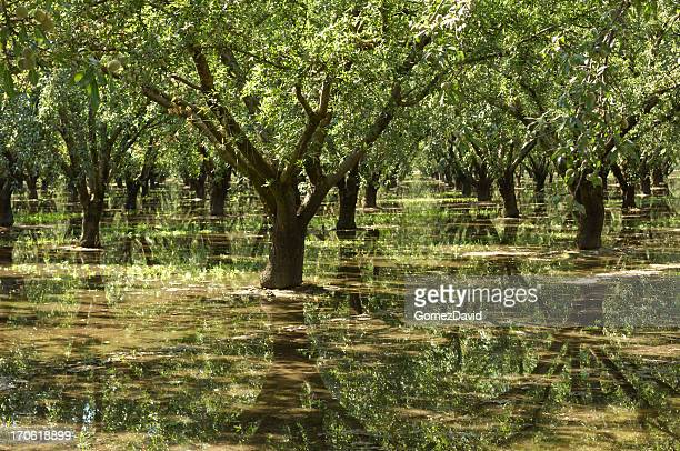 Almond Orchard Relecting in Irrigation Water