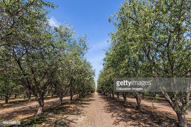 Almond Orchard Tulare County San Joaquin Valley California