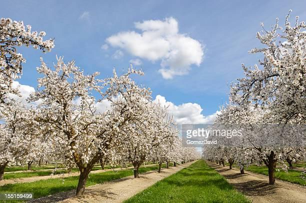 Almond Orchard con la primavera flores