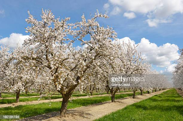 Almond Orchard with Springtime Blossoms