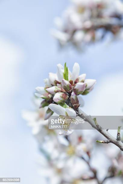Almond tree blossom in Spring