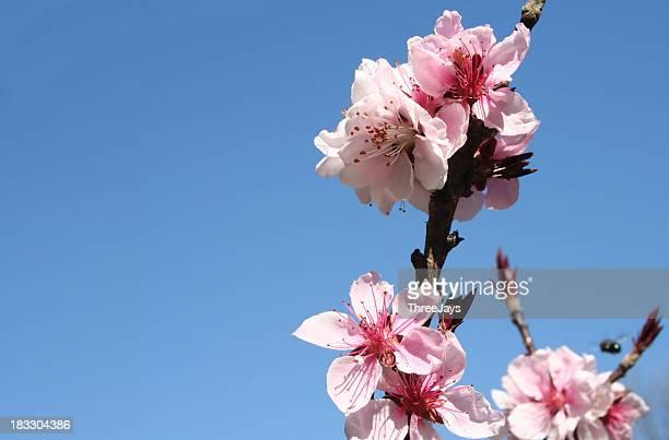 Almendro Blossom
