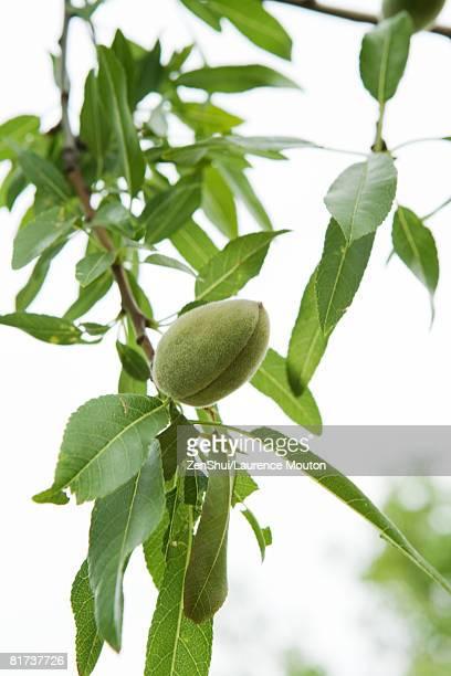 Almond tree, close-up