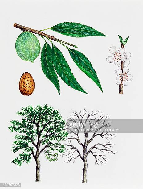 Almond tree Rosaceae tree with and without foliage leaves flowers and fruits illustration