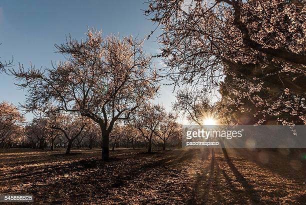 Almond trees at sunset