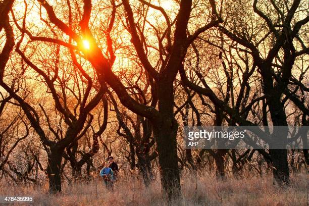 Almond trees bloom as the sun sets in Hustopece Czech Republic on March 13 2014 Created in the 1950s as its own source of almonds for chocolate...