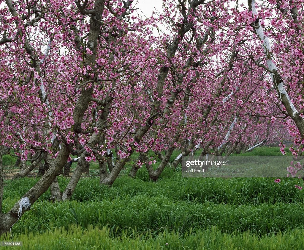 almond trees in bloom spring san joaquin valley california stock