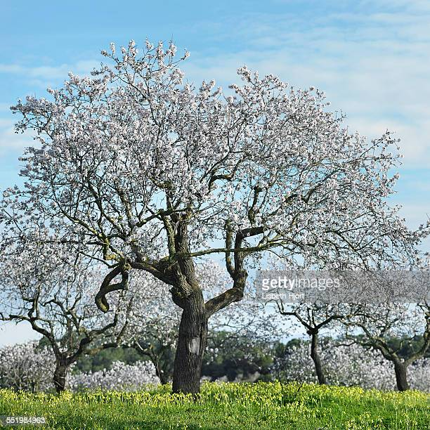 Almond trees, Mallorca, Spain