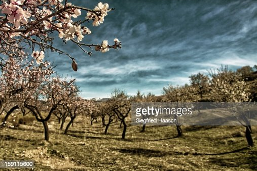 Almond Trees : Stock Photo