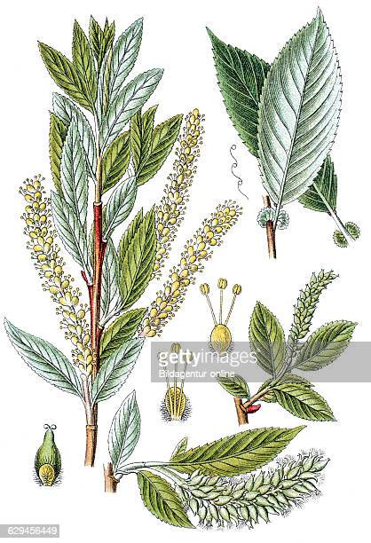 Almond willow or almondleaved willow salix triandra