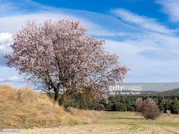 Almond-tree in flower in a field of mountain