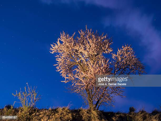 Almond-tree in flower with crepuscular light