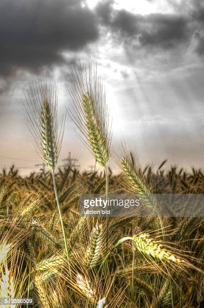 almost ripe barley in a field