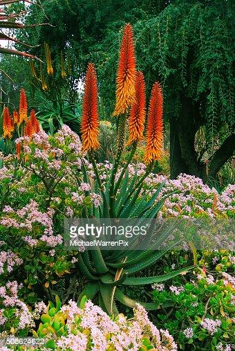 Aloe Flowers : Stock Photo