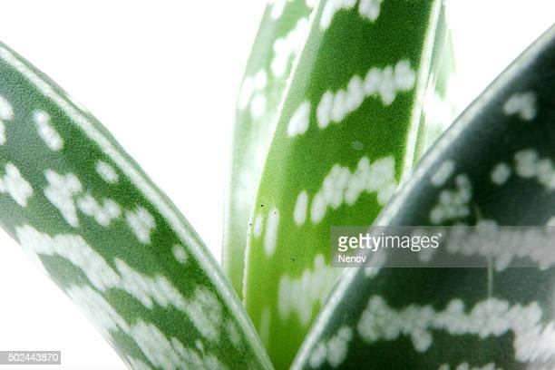 Aloe isolated on white backbround