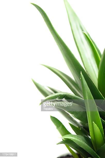 Aloe Leafs