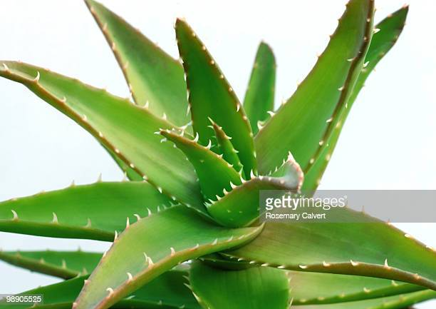 Aloe plant in close up on white background.