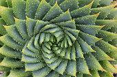 A spiral Aloe Vera cactus (Aloe polyphylla).